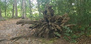 19th Sep 2021 - Decaying Tree, Forty Hall Estate