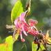 Late summer honeysuckle bloom