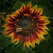 19th Sep 2021 - 0919 - Pollinator at work