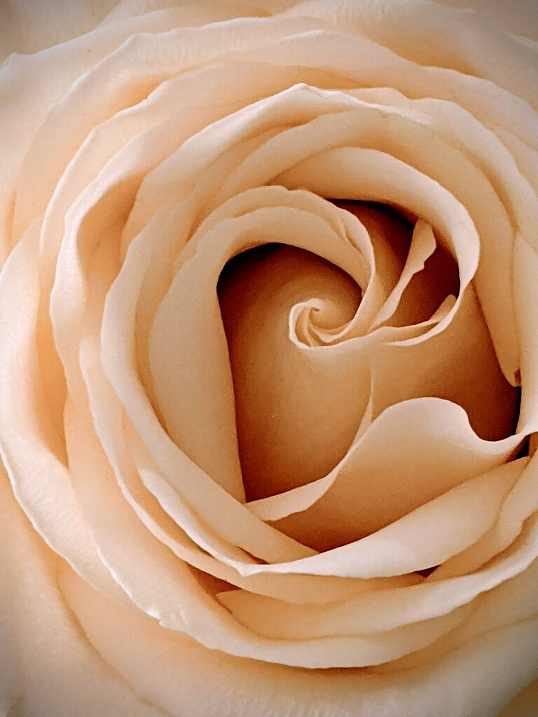 Rose by stephan_haay
