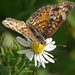 Pearl Crescent nectaring by annepann