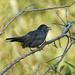 Young Catbird by annepann