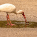 Ibis Washing Off it's Find in the Puddle in the Middle of the Road!