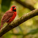 Mr Cardinal Out on a Limb!