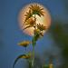 Sunflowers over Moon