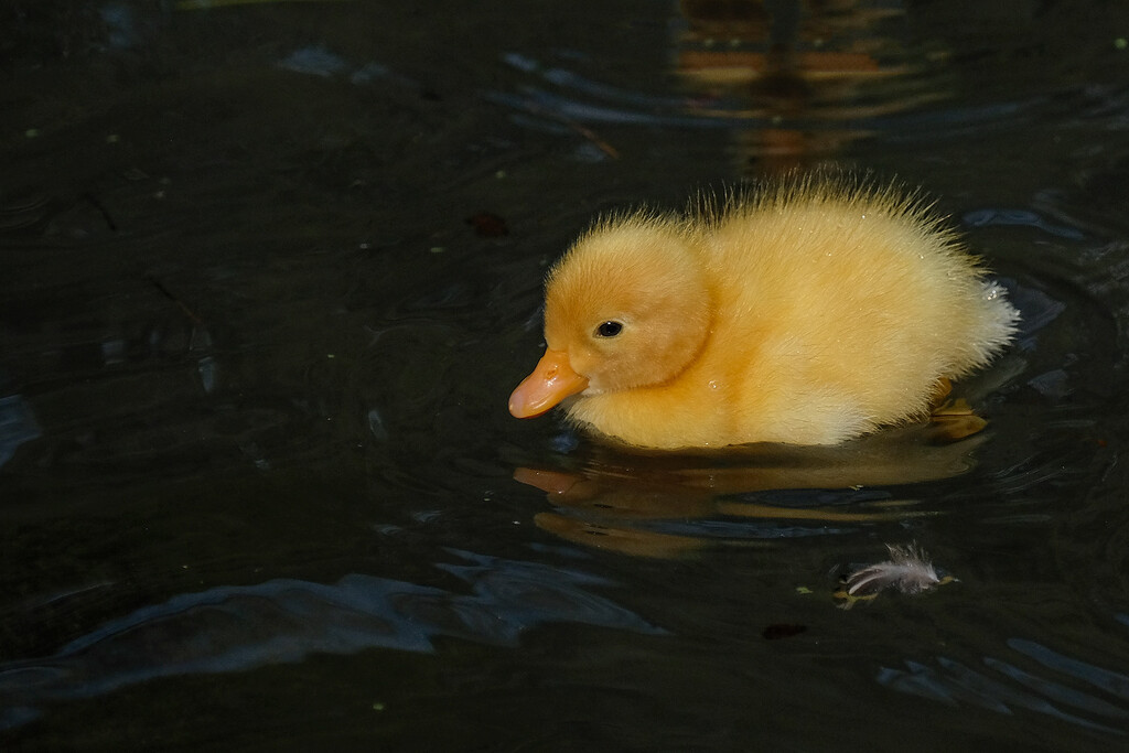 The latest duckling by maureenpp