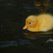 The latest duckling