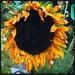 Sunless flower