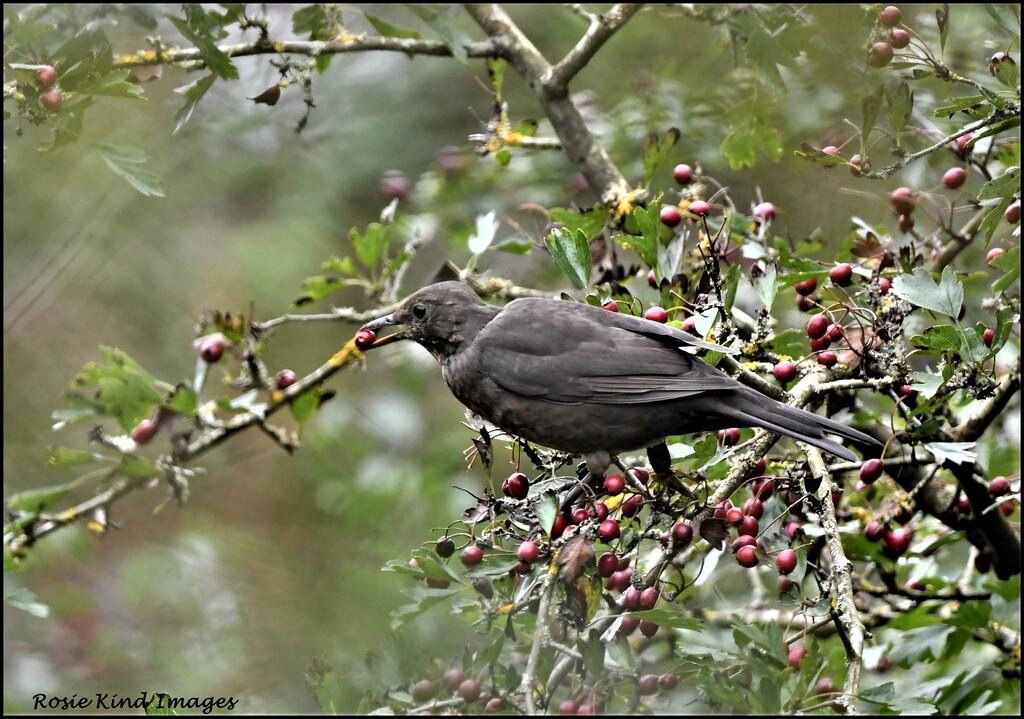 Enjoying the berries by rosiekind