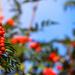 Last of the Rowan Berries
