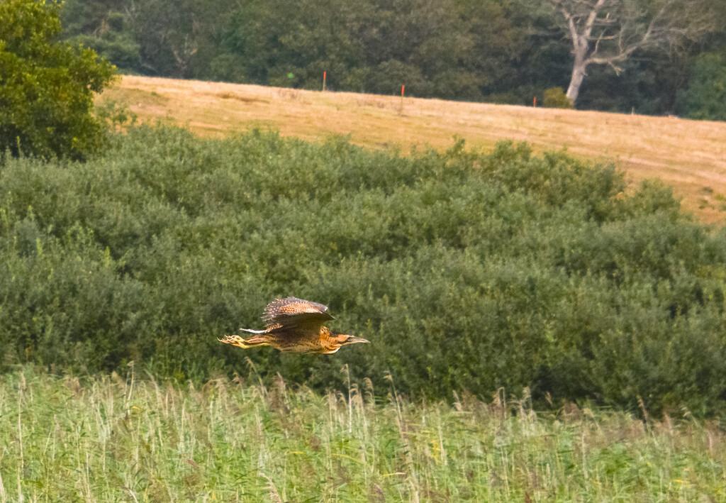 Bittern Fly past by ilovelenses