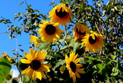 20th Sep 2021 - Sunflowers In The Sun