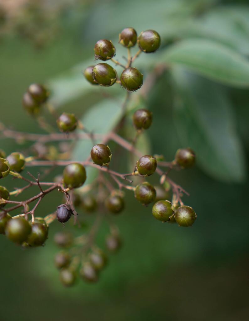 Crape Myrtle Berries by randystreat