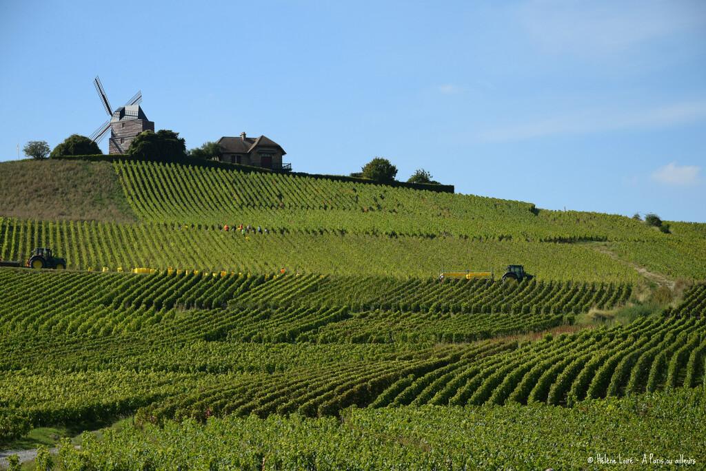 Champagne harvest  by parisouailleurs