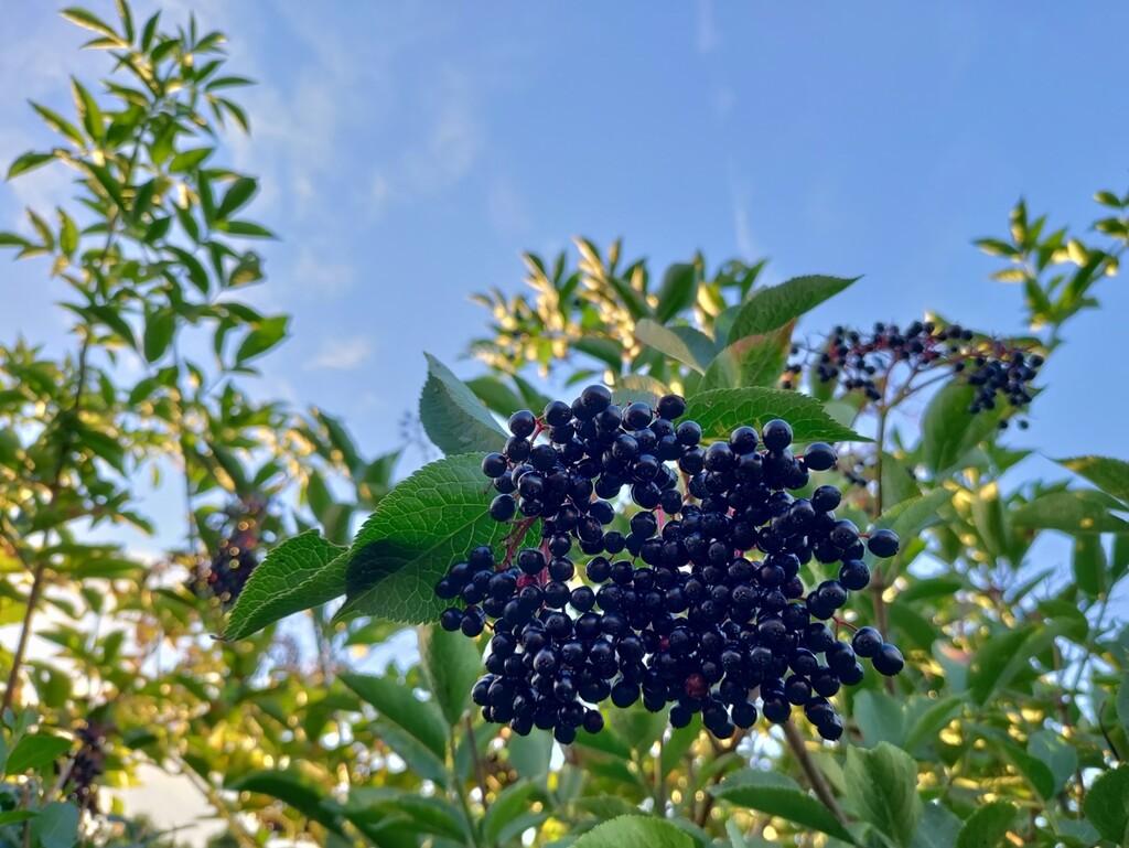 Elderberries again by roachling