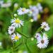 Little white wildflowers