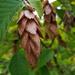 Ironwood fruit
