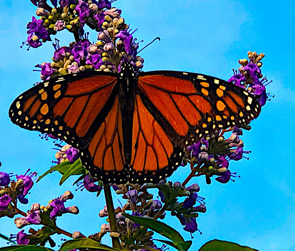The first monarch I've seen in a long time.  I was so excited!  by congaree