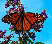 21st Sep 2021 - The first monarch I've seen in a long time.  I was so excited!