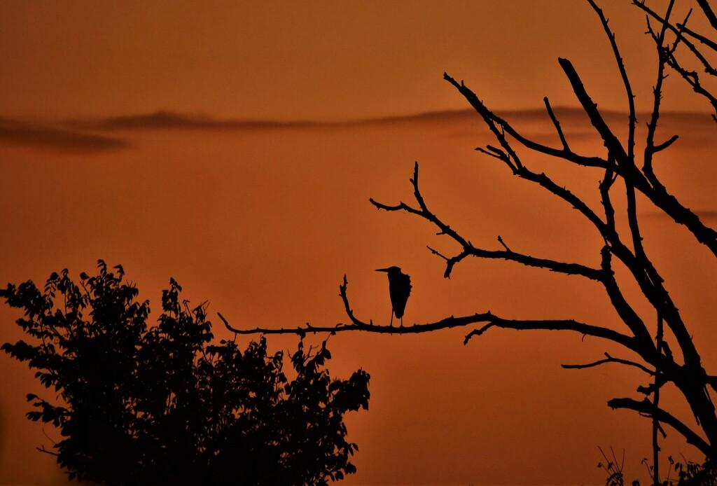 Heron at Dawn by kareenking
