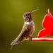 Annas Hummingbird on 365 Project