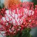 Hail protea
