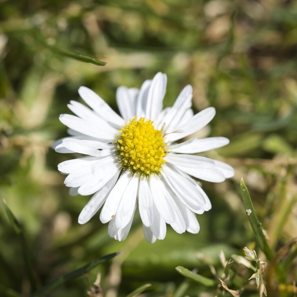 Daisy by dkbarnett