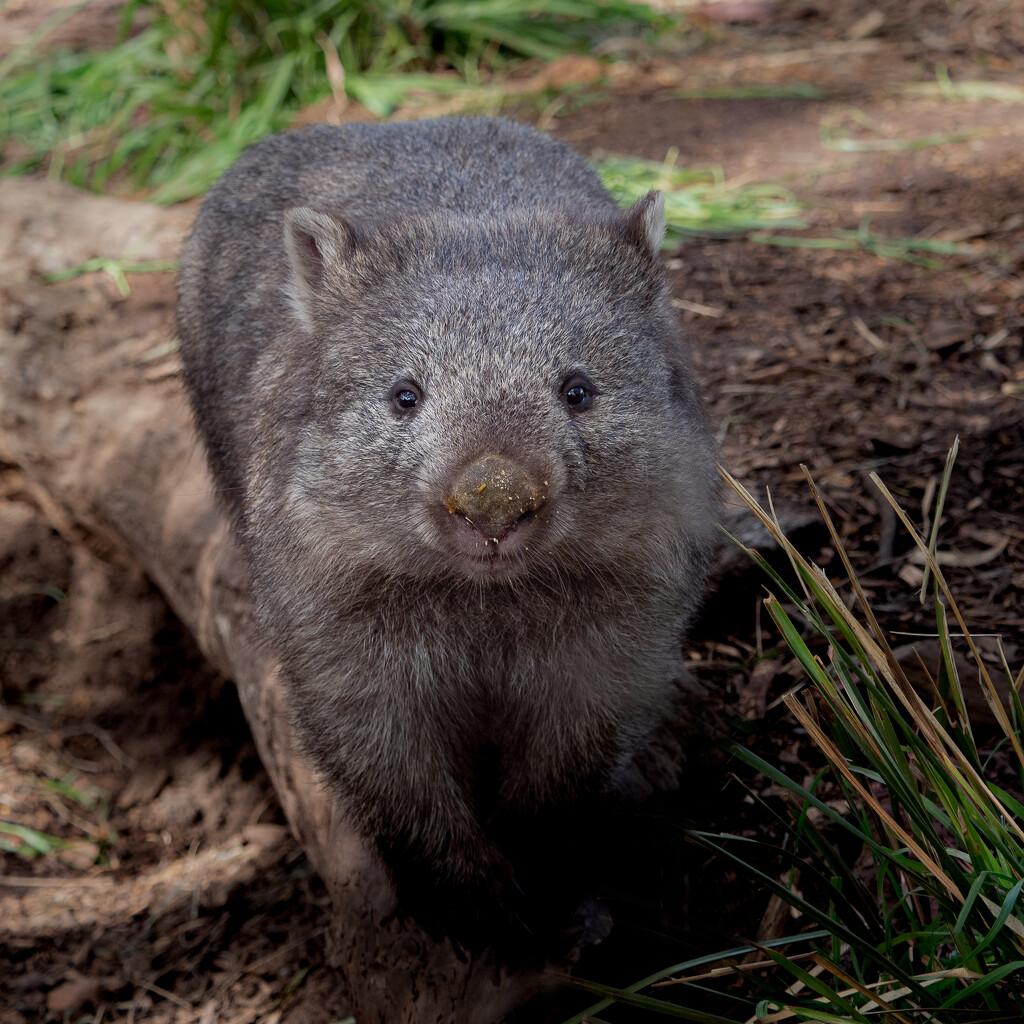 Smiling wombat? by gosia