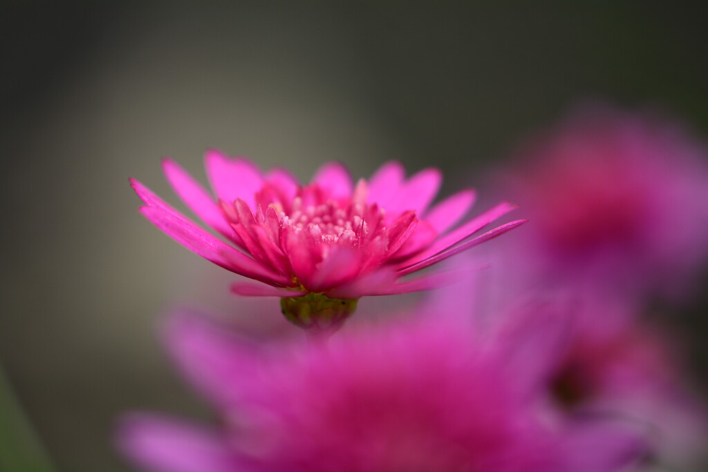 Pink flower....... by ziggy77