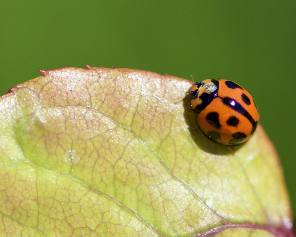 Is It A Bug On A Bug? DSC_7832 by merrelyn