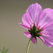 Last of the Pink Cosmos by phil_sandford