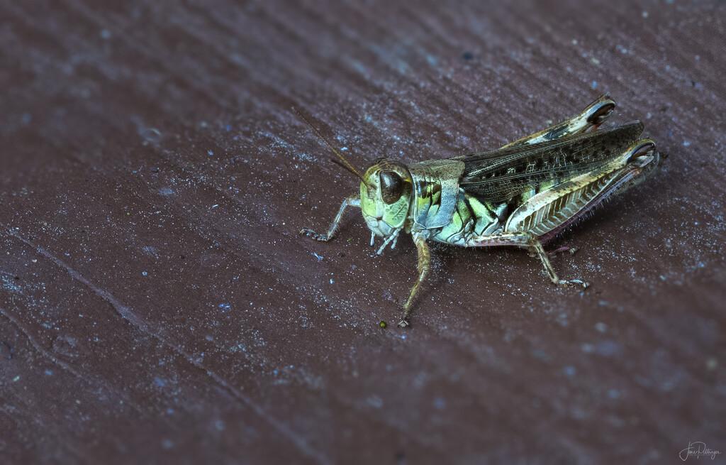 Grasshopper  by jgpittenger