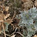 Sea holly. Brown and bluegreen on one plant.