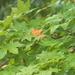 Rainy Maple Leaves