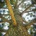 Araucaria heterophylla by corymbia