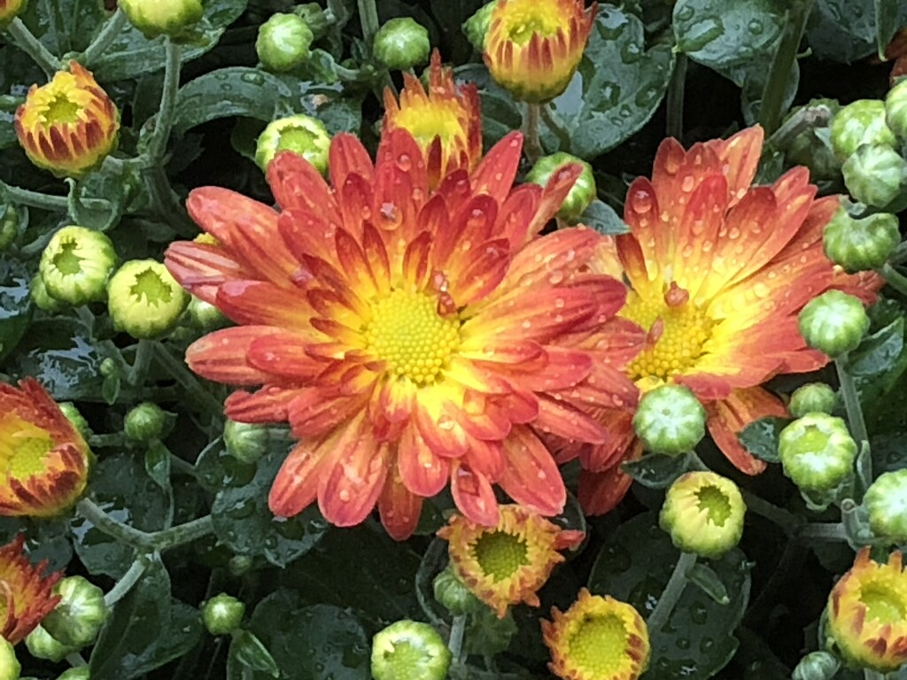 mums by amyk