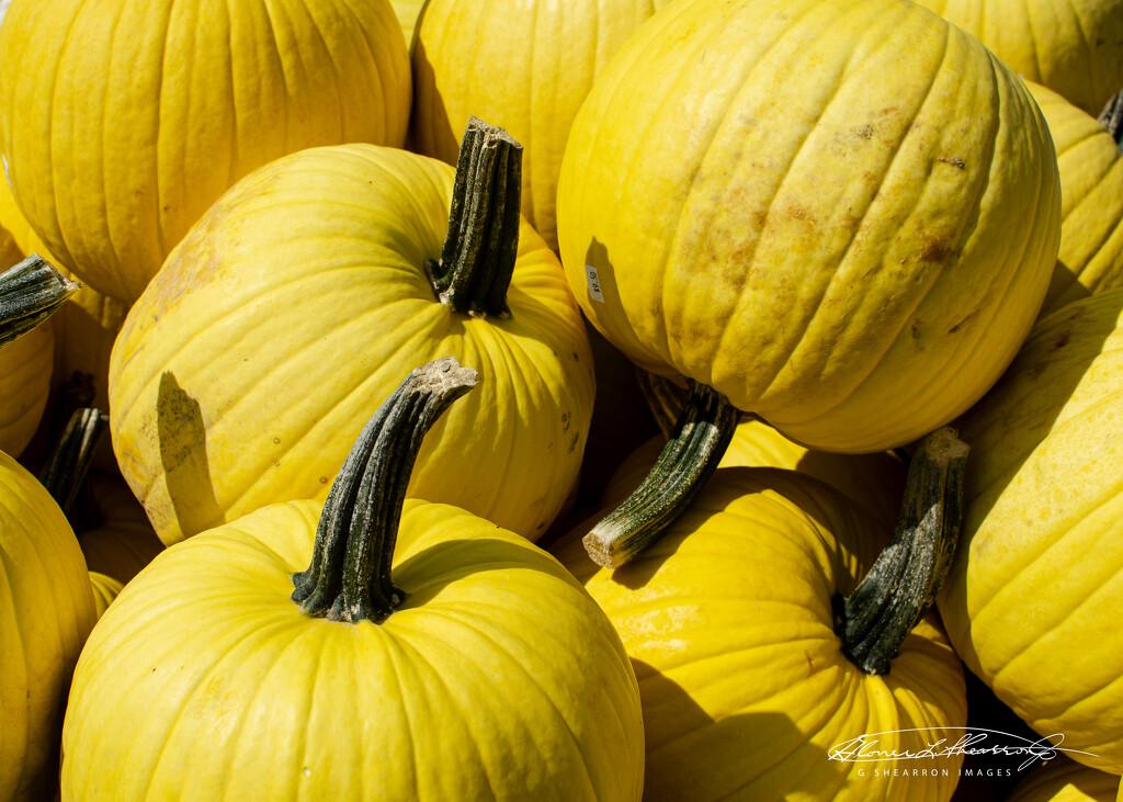 Yep .....YELLOW pumpkins! by ggshearron
