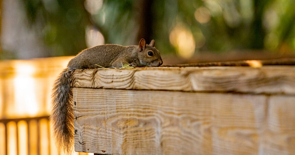 Relaxed Squirrel! by rickster549