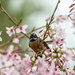 Fantail and cherry blossom