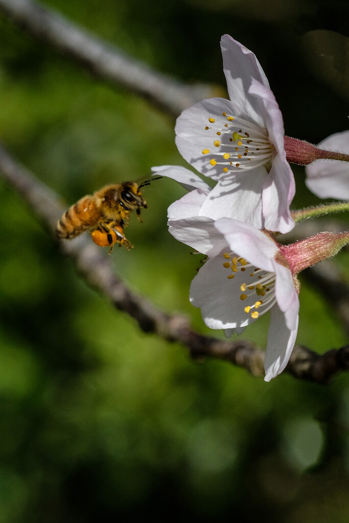 Bee heading for cherry blossom by maureenpp