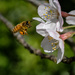 Bee heading for cherry blossom