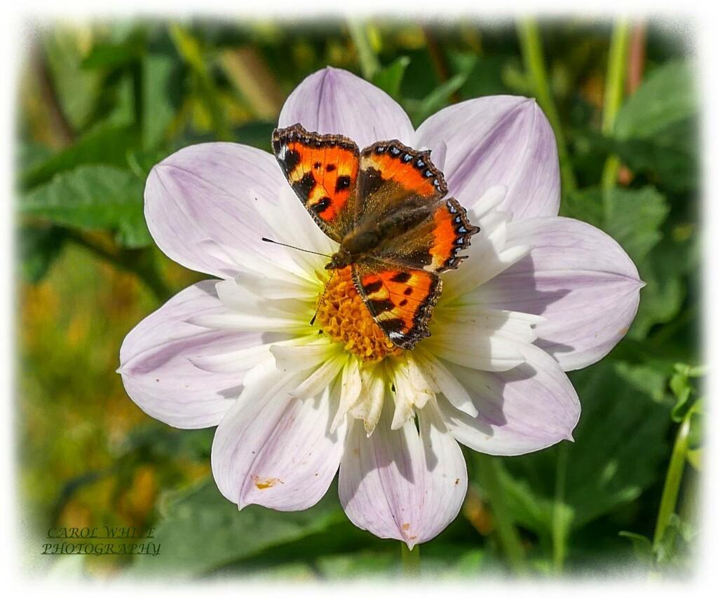 Small Toetoiseshell Butterfly by carolmw