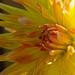 Last of the Sunshine Dalias by phil_sandford