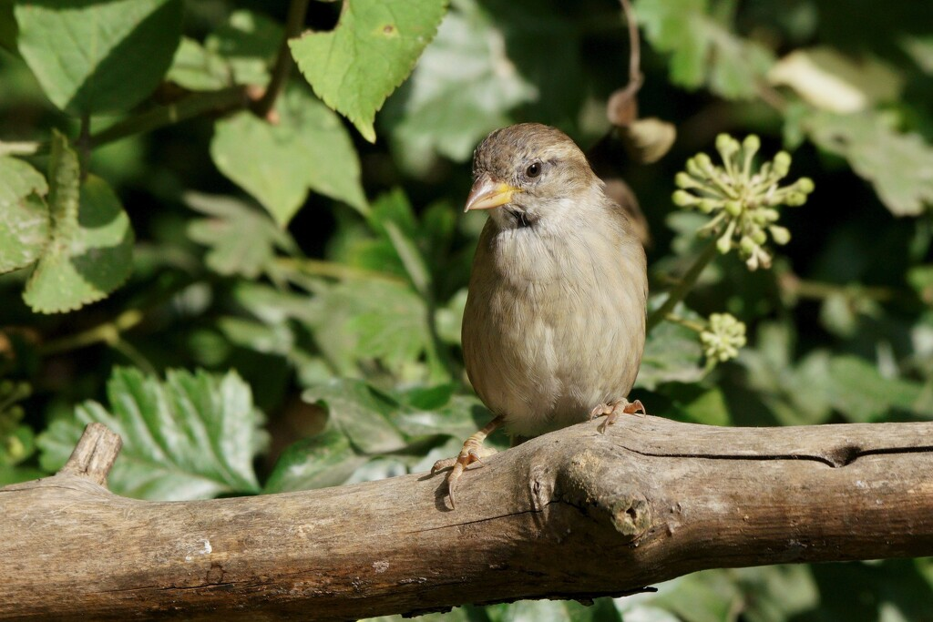 MRS HOUSE SPARROW by markp