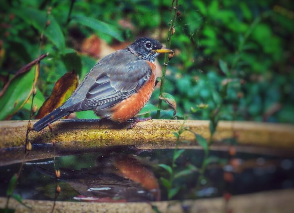 American Robin by mzzhope