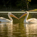 I ❤️ Pelicans by samae