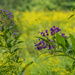 Ironweed and Goldenrod