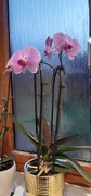 22nd Sep 2021 - Christmas orchid blooms again
