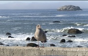 19th Sep 2021 - Baby gull