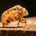 The Cicada Has Flown the Shell!